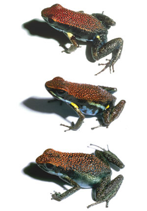 The complex of frogs Darst and Cummings studied in the Ecuadorian rainforest