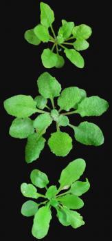 Arabidopsis showing hybrid vigor