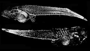 vascular development in frog tadpoles