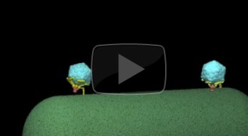 Click to watch an animation showing the changes in the structure of a T7 virus as it infects an E. coli bacterium.