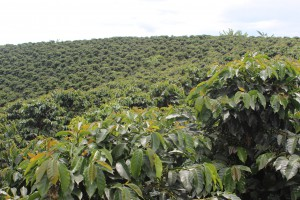 Sun grown coffee plantation