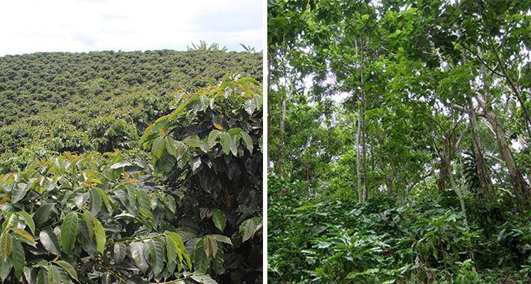 Sun vs. Shade-Grown Coffee