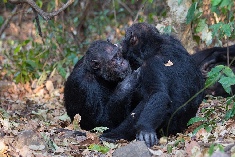 Chimpanzees interact in Gombe National Park, Tanzania