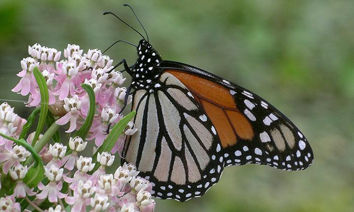 nymphalidae_danaus_plexippus_monarch1