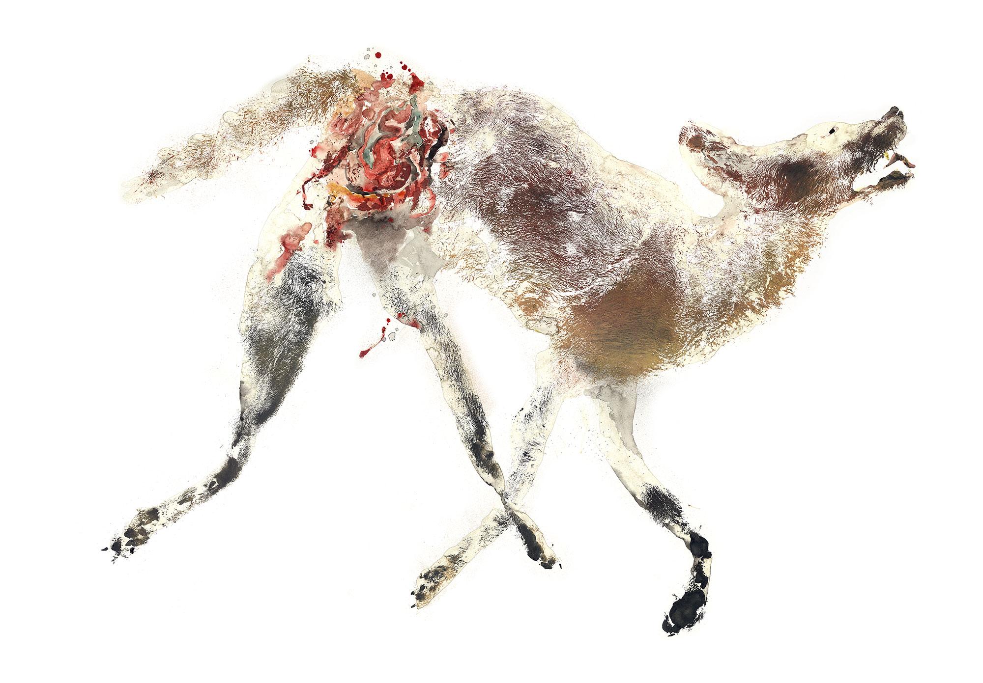 Coyote Canis latrans
